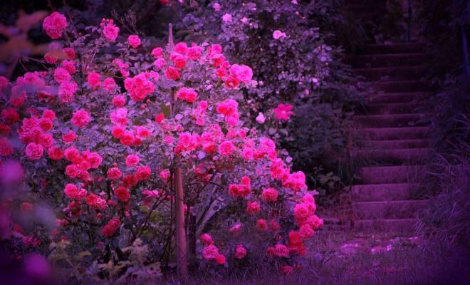Beautiful-Color-roses-18577543-1280-800_660_400_cropp