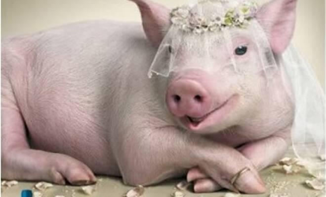 pig-bride_660_400_cropp